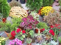 Kolorowi kwiaty w garnkach przy kwiatu sklepem Zdjęcie Royalty Free