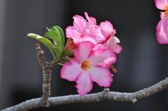 Kolorowi kwiaty w naturze pustynny kwiat wzrastał zdjęcia royalty free