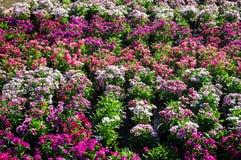 Kolorowi kwiaty wykładają w parku w świetle słonecznym Obrazy Royalty Free