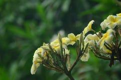 Kolorowi kwiaty z kroplami woda po deszczu Różowy azalia kwiatu światło słoneczne piękne różowy kwiat Zdjęcia Stock