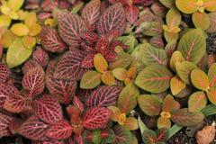Kolorowi liście nerw roślina fotografia stock