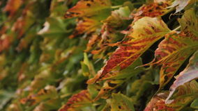 Kolorowi liście liana zmieniają ogniskową długość zdjęcie wideo