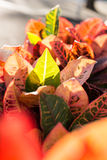 Kolorowi liście Codiaeum variegatum fotografia stock