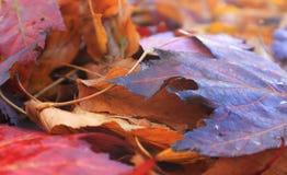 Kolorowi liście klonowi po deszczu w jesieni Zdjęcia Stock