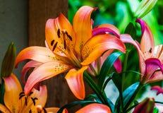Kolorowi lillies. Zdjęcie Royalty Free