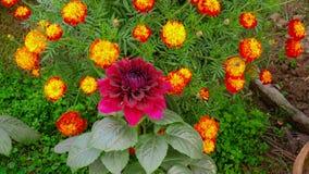 Kolorowi lotosowi kwiaty w Azja zdjęcie royalty free