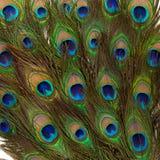 Kolorowi pawi piórka Fotografia Royalty Free