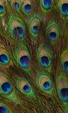 Kolorowi pawi piórka Zdjęcie Royalty Free