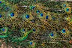 Kolorowi pawi piórka, Płytki Dof Pawi piórek wzór Pawi ogonów szczegóły Obraz Royalty Free