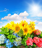 Kolorowi słoneczniki i hortensia okwitnięcia Fotografia Royalty Free