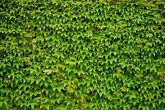 kolorowi spadek bluszcza liść Zdjęcia Stock