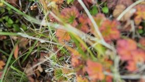Kolorowi spadków liście klonowi na tle zielona trawa wideo Spadać liście na trawie przy słonecznym dniem w jesień lesie zdjęcie wideo