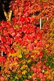 Kolorowi spadków winogrady Obraz Royalty Free