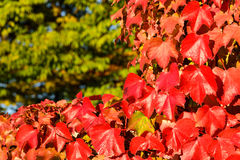 Kolorowi spadków winogrady Obraz Stock