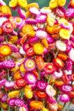 Kolorowi strawflowers Obrazy Royalty Free
