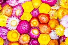 Kolorowi strawflowers Fotografia Stock