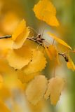 Kolorowi topola liście. Zdjęcia Royalty Free