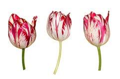 Kolorowi tulipanów kwiaty Odizolowywający Na Białym tle Zdjęcia Royalty Free
