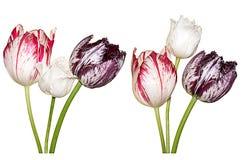 Kolorowi tulipanów kwiaty Odizolowywający Na Białym tle Fotografia Royalty Free