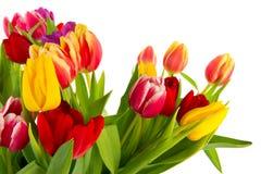 kolorowi tulipany obrazy stock