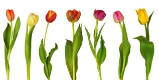 kolorowi tulipany Fotografia Stock