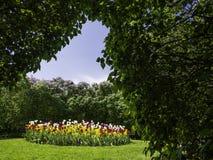 Kolorowi tulipany i lili żywopłoty fotografia stock