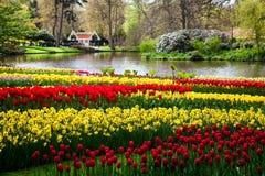 Kolorowi tulipany na brzeg rzeki w Keukenhof parku w Amsterdam terenie, holandie Wiosny okwitnięcie w Keukenhof Obrazy Royalty Free