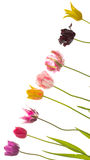 Kolorowi tulipany na przekątnie obrazy stock