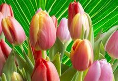 Kolorowi tulipany nad zieleń żyłkowatym liściem zdjęcia royalty free