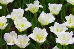 Kolorowi tulipany.  Piękni wiosna kwiaty. Wiosna krajobraz Zdjęcia Stock