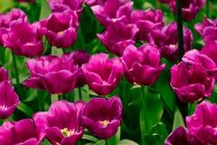 Kolorowi tulipany.  Piękni wiosna kwiaty. Wiosna krajobraz Zdjęcie Stock