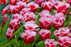 Kolorowi tulipany.  Piękni wiosna kwiaty. Wiosna krajobraz Fotografia Royalty Free
