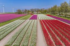 Kolorowi tulipany pole i silniki wiatrowi zdjęcie stock