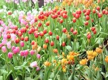 Kolorowi tulipany, tulipany Fotografia Stock