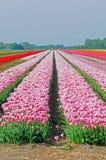 Kolorowi tulipany Obraz Stock