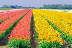 Kolorowi tulipany Zdjęcia Royalty Free