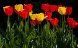 kolorowi wiosna tulipany Obrazy Stock