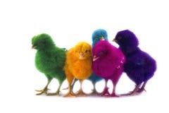 Kolorowy Śliczni kurczątka Zdjęcie Stock