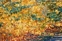 Kolorowy żółty czerwony jesień spadek opuszcza na gałąź, krzaki, sezon jesienny, karciana tapeta, textured tło obraz royalty free