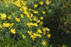 Kolorowy żółty Euryops w ogródzie zdjęcia royalty free