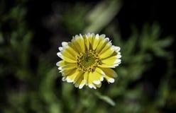 Kolorowy żółty kwiat w ogródzie zdjęcia royalty free