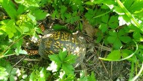 Kolorowy żółw na lasowej podłoga brać w zachodnim Indiana na Maju 11 2018 obraz royalty free