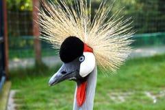 Kolorowy Afrykański ptasi żuraw Zdjęcie Stock
