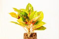 Kolorowy Aglaonema lub Chiński Wiecznozielony odosobniony na białym tle Fotografia Stock
