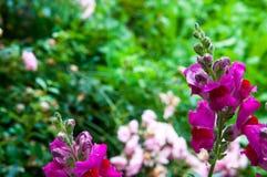 Kolorowy antirrhinum kwiatu Antirrhinum majus zakończenie up strzelał fotografia royalty free