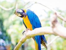 Kolorowy ara ptaka chrobot Fotografia Stock