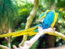 Kolorowy ara ptaka chrobot Zdjęcie Stock