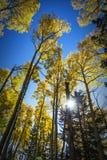 Kolorowy Arizona trząść osiki w jesieni obraz stock