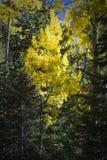 Kolorowy Arizona trząść osikowego i sosnowego las w jesieni zdjęcie stock