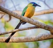 Kolorowy błękitny koronowany motmot Brazylia obrazy stock